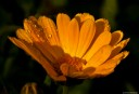 Speckled orange Marigold