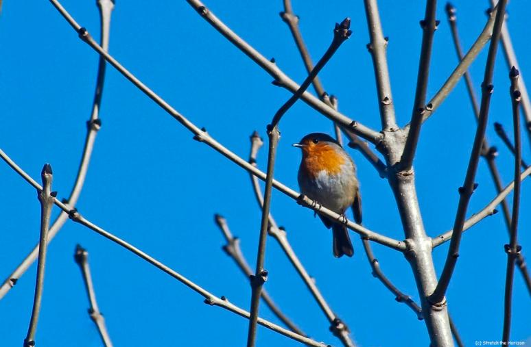 Robin in bare branches
