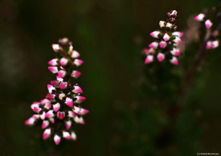Heather buds
