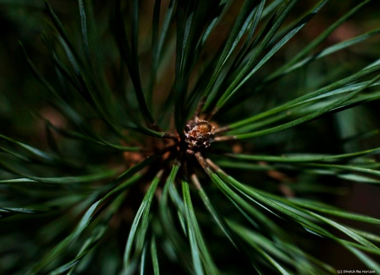 Pine needle whirl