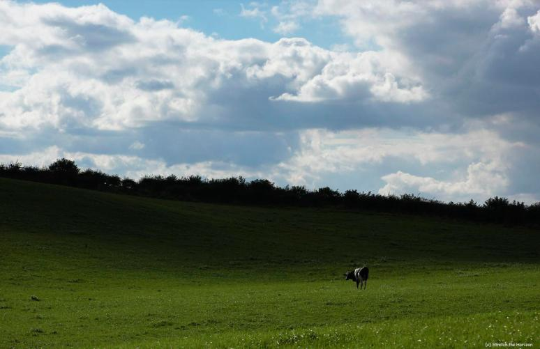 Lone Bovine