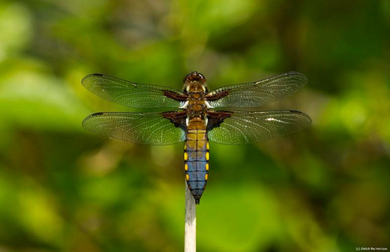 Broad-tailed Chaser at Leighton Moss