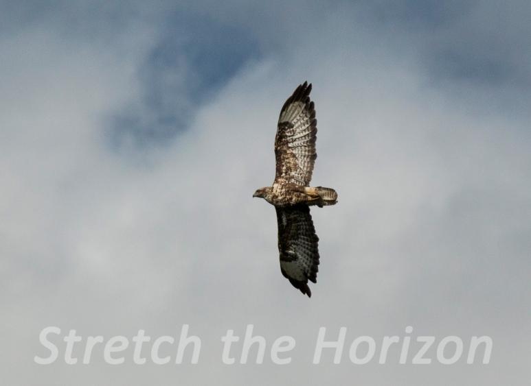 Buzzard in-flight